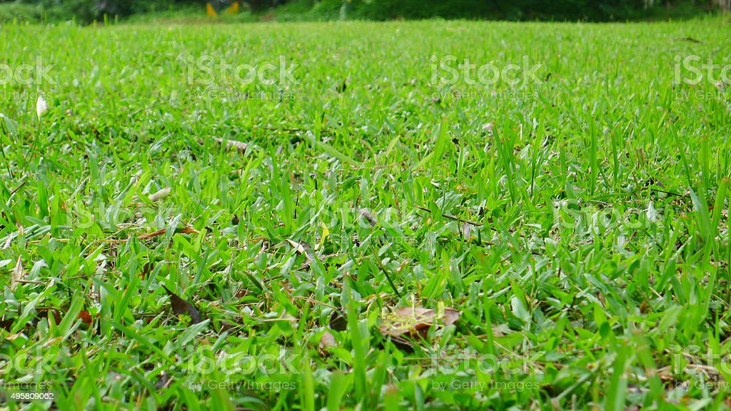 Tropical Carpet grass stock photo