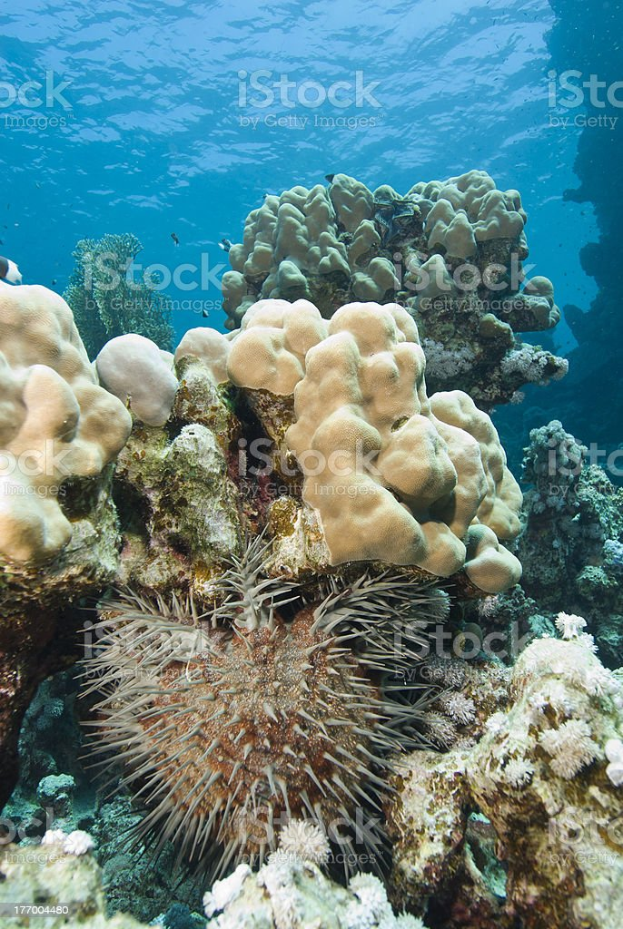 Tropical coral reef with Crown-of-thorns starfish. royalty-free stock photo