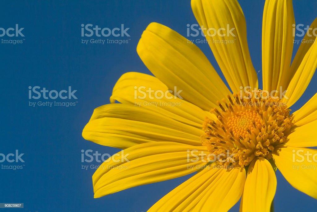 tropical daisy stock photo