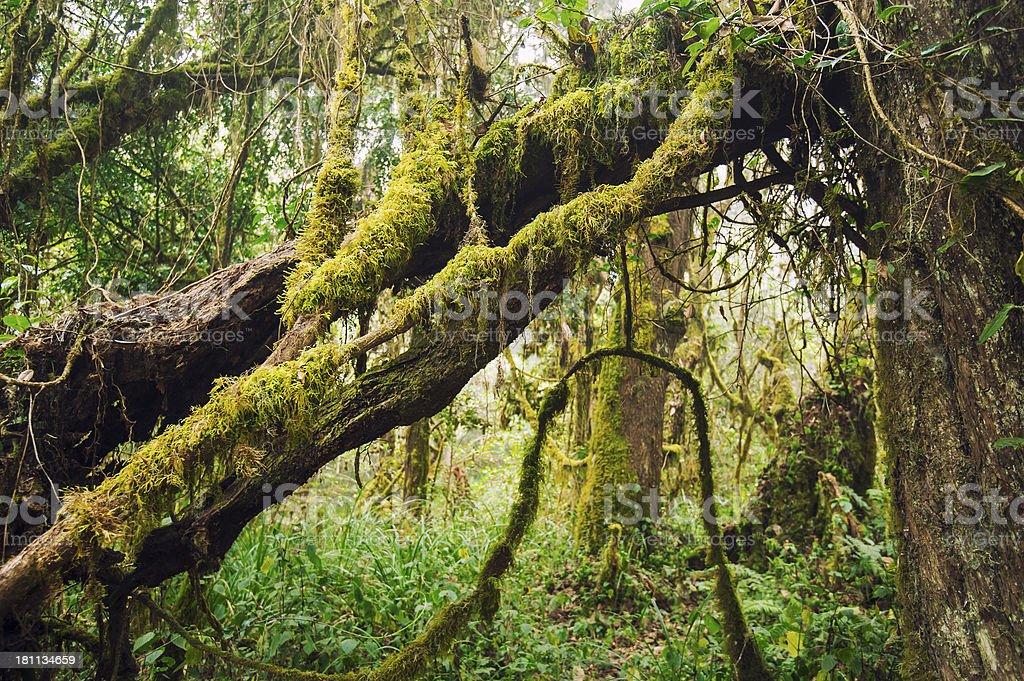 tropical dense cloud forest at Kilimanjaro, Tanzania stock photo