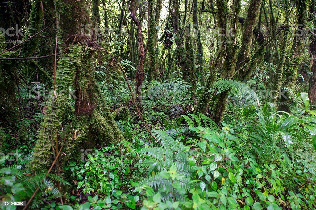 Tropical dense cloud forest in Central Africa stock photo