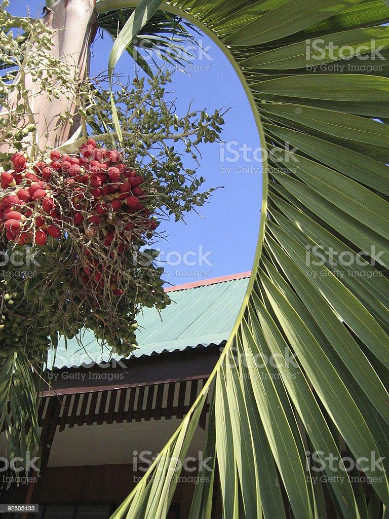 tropical destination palm fruit royalty-free stock photo