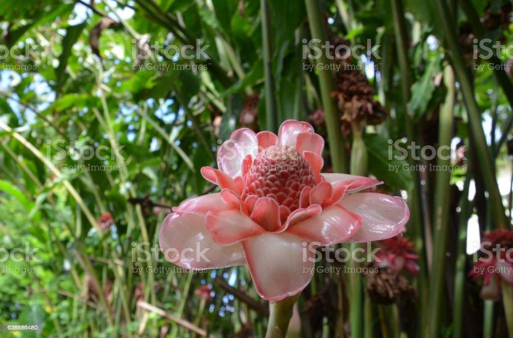 Tropical Exotic Flower Ginger Torch Etlingera stock photo