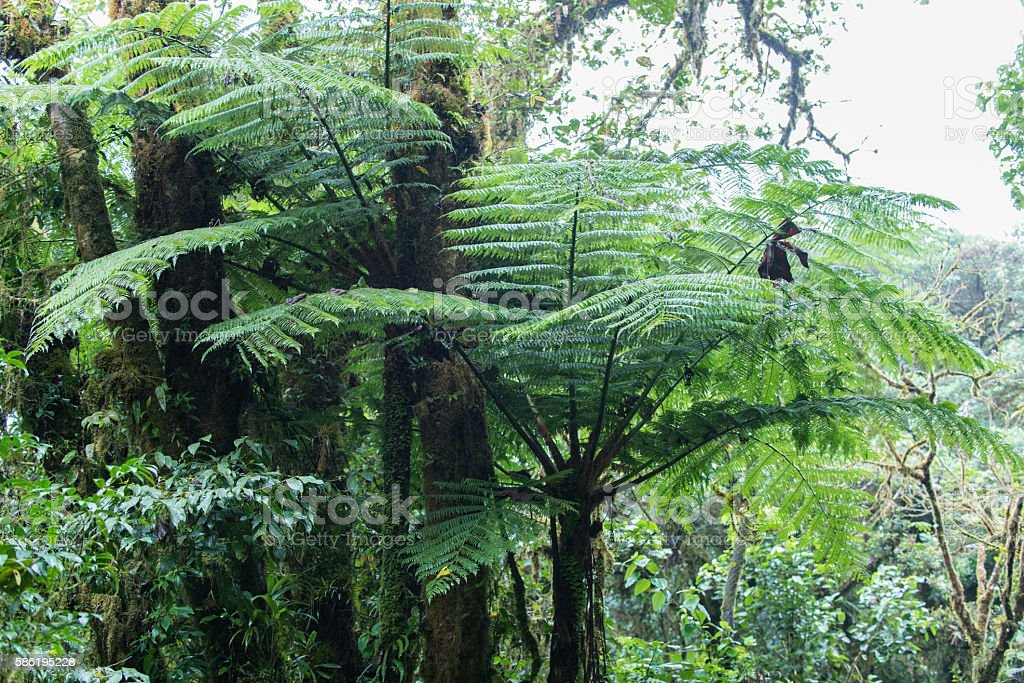 Tropical fern in the cloud forest of Costa Rica stock photo