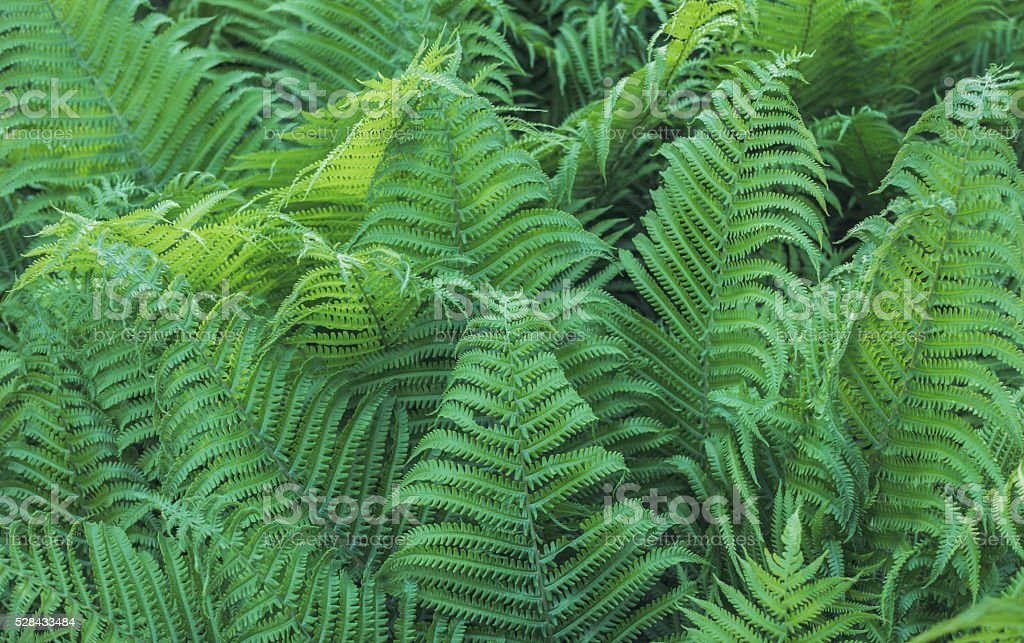 Tropical fern in the garden. Gardening and landscaping stock photo
