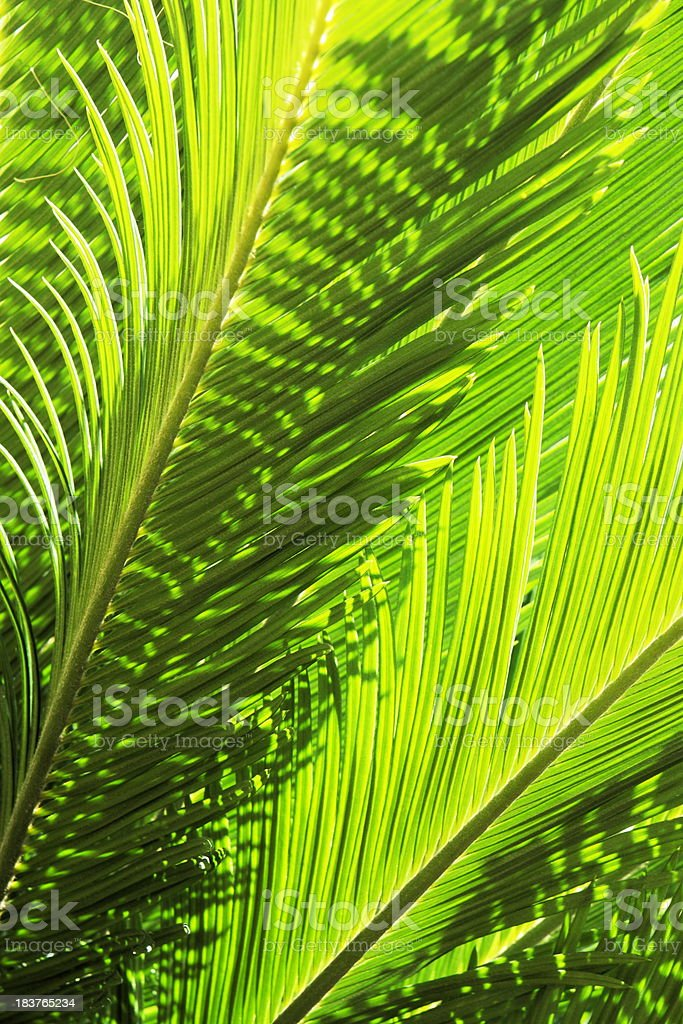 Tropical Fern Plant Leaf Fronds royalty-free stock photo