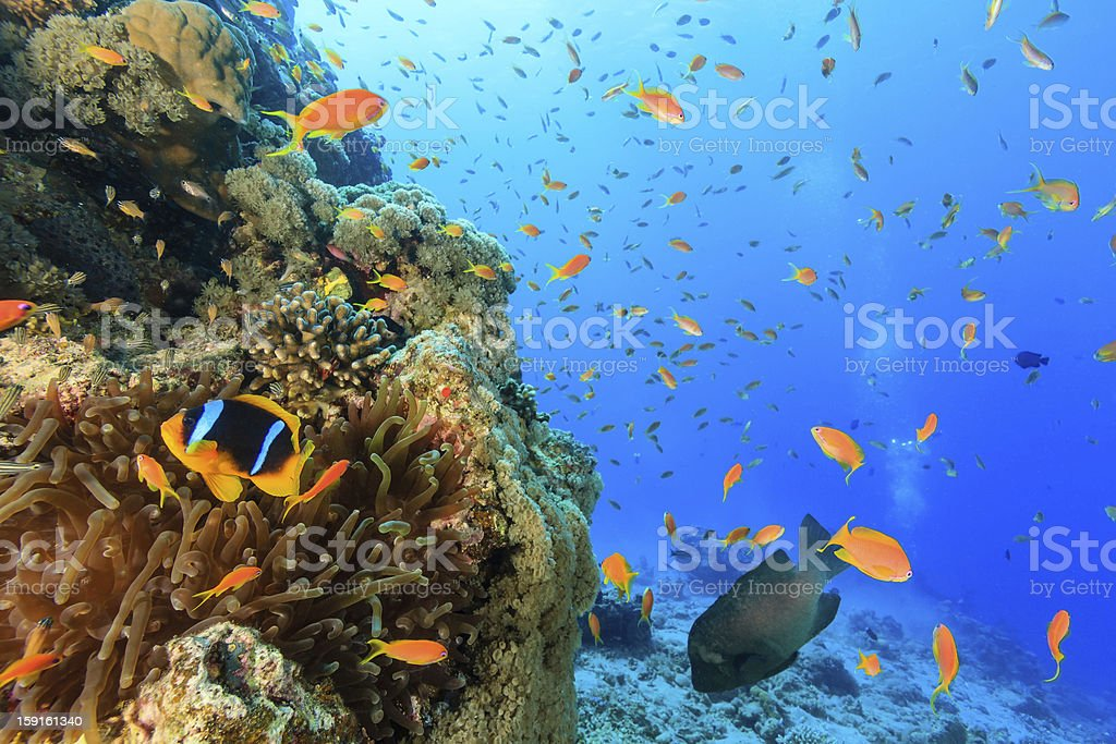 Tropical fish and  clownfish swim around a coral reef stock photo