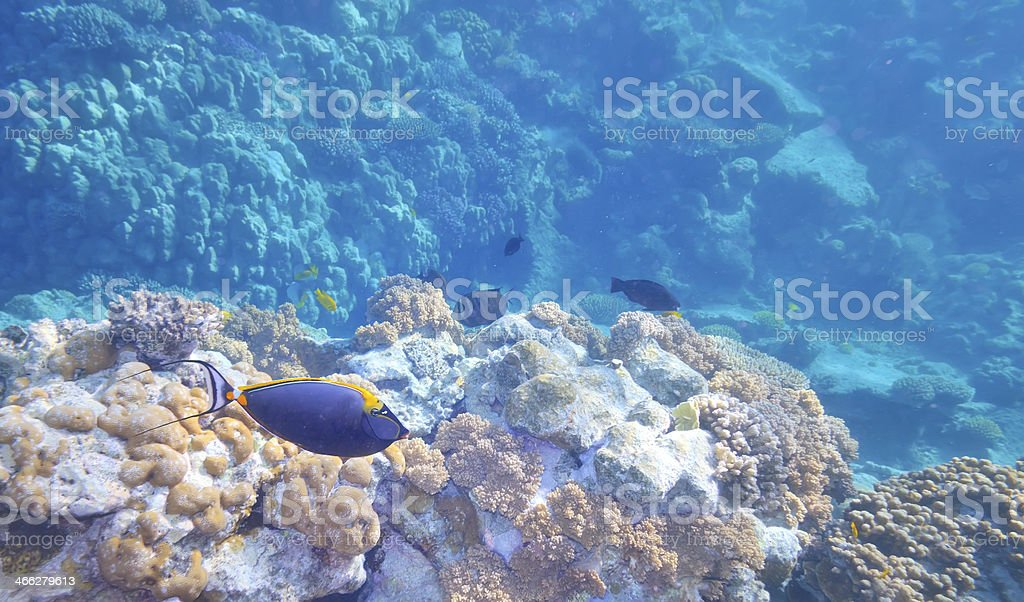 Tropical Fish and Coral Reef royalty-free stock photo