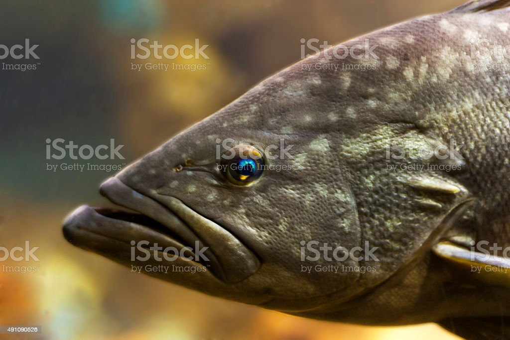 Tropical fish bass perch stock photo