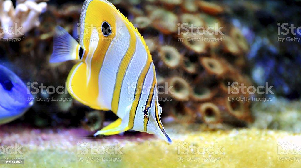 Tropical fish chelmon rostratus royalty-free stock photo