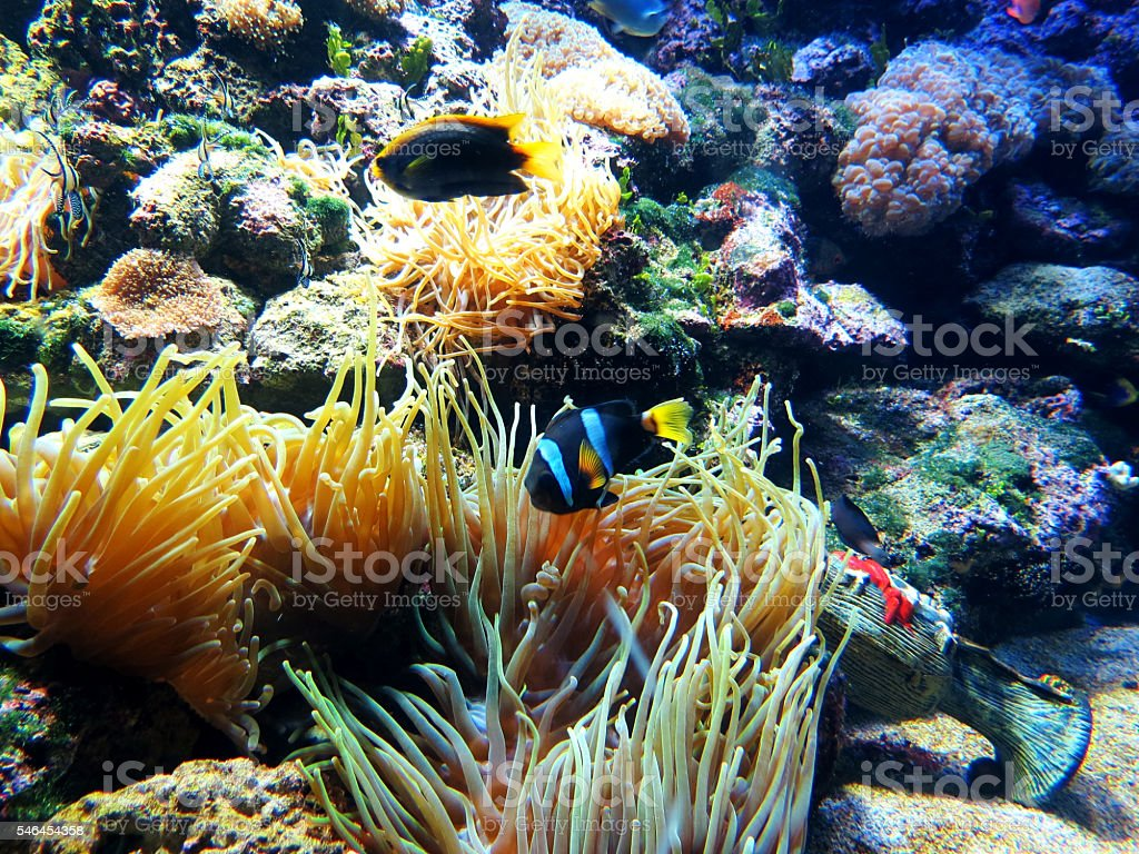 Tropical Fish, Clown Fish, Coral stock photo