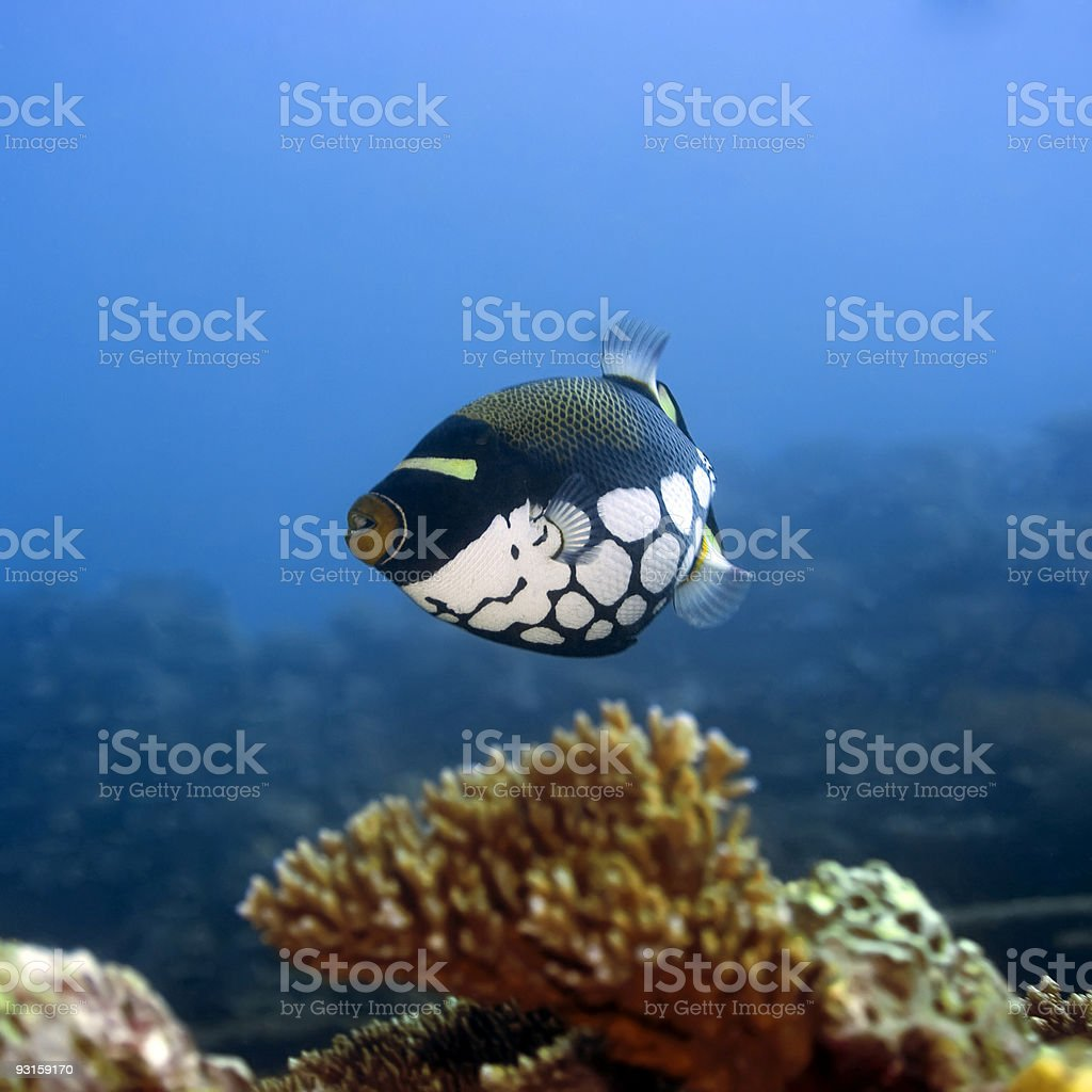 Tropical fish Clown Triggerfish royalty-free stock photo