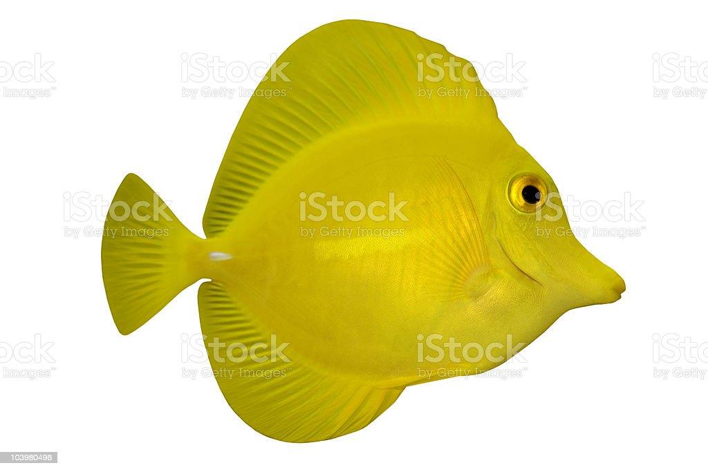 Tropical Fish Ctenochaetus truncatus isolated on white stock photo