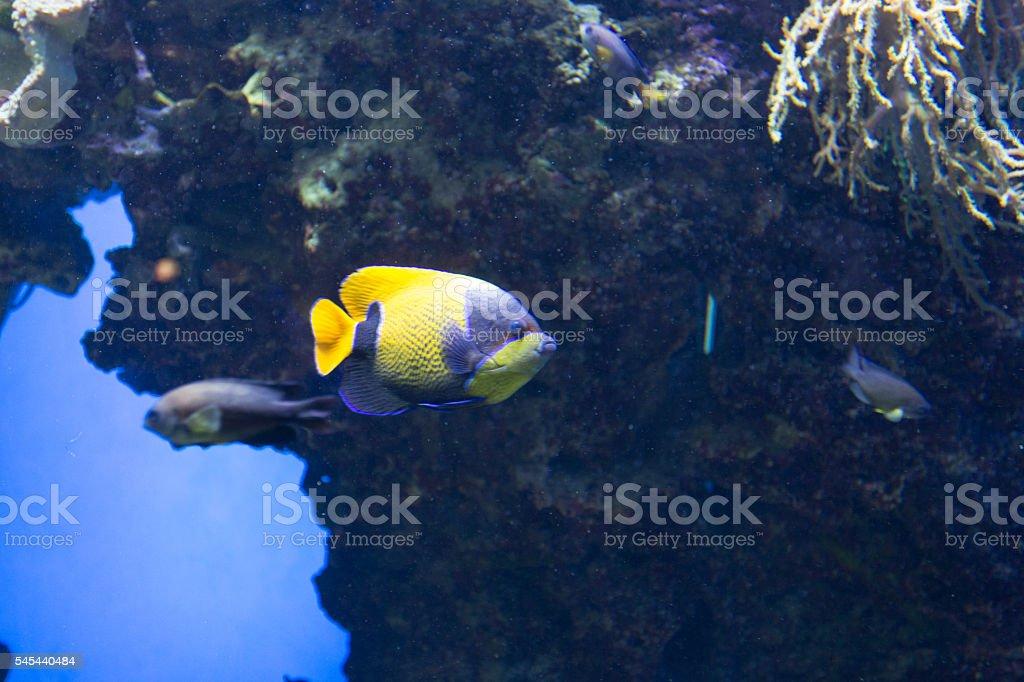 Tropical fish Fish-emperor stock photo