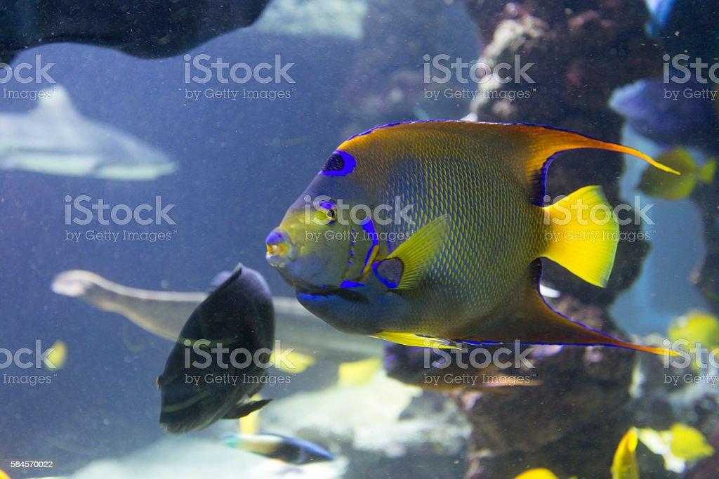 Tropical fish Fish-emperor,or fish-angel stock photo