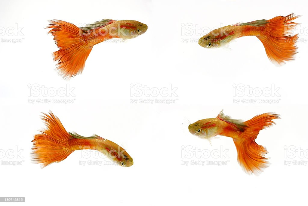 Tropical fish, guppy stock photo