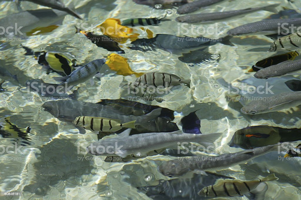 Tropical fish in aqua water royalty-free stock photo