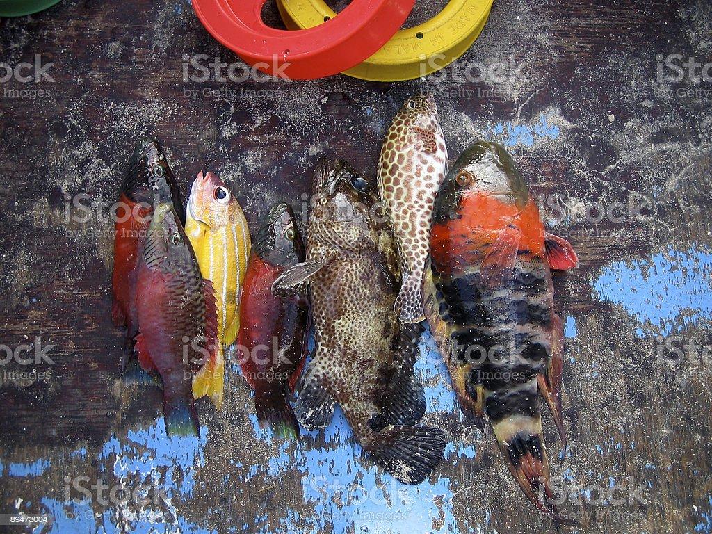 Tropical Fish in Fiji, Hand Line Fishing royalty-free stock photo