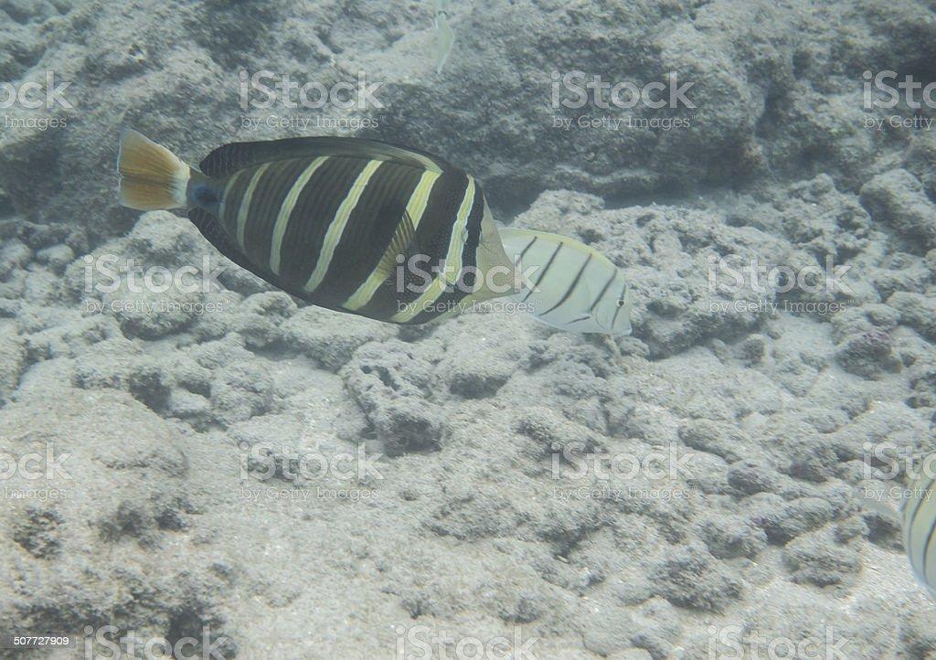 Tropical Fish in Hanauma Bay stock photo