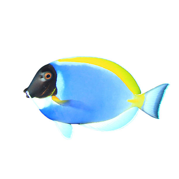 Dory fish pictures images and stock photos istock for Picture of dory fish