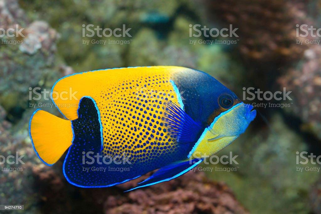 Tropical Fish Majestic Angelfish royalty-free stock photo