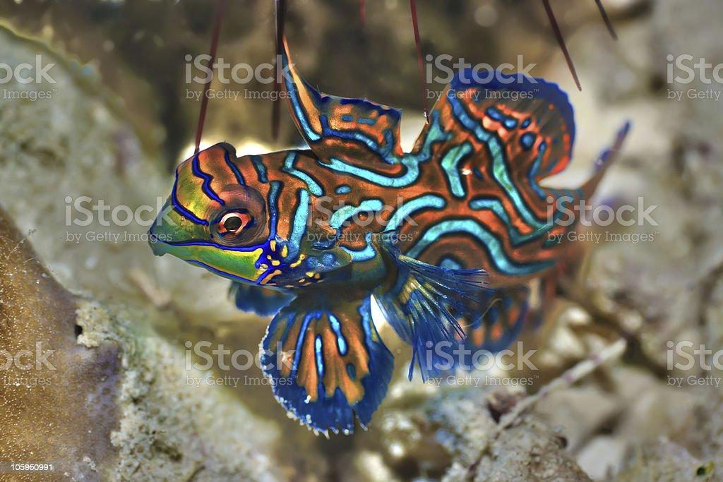 Tropical fish Mandarinfish stock photo