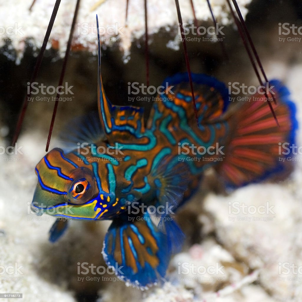 Tropical fish Mandarinfish royalty-free stock photo