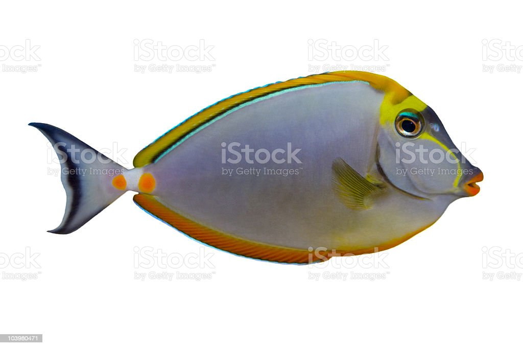 Tropical Fish Naso Tang isolated on white royalty-free stock photo