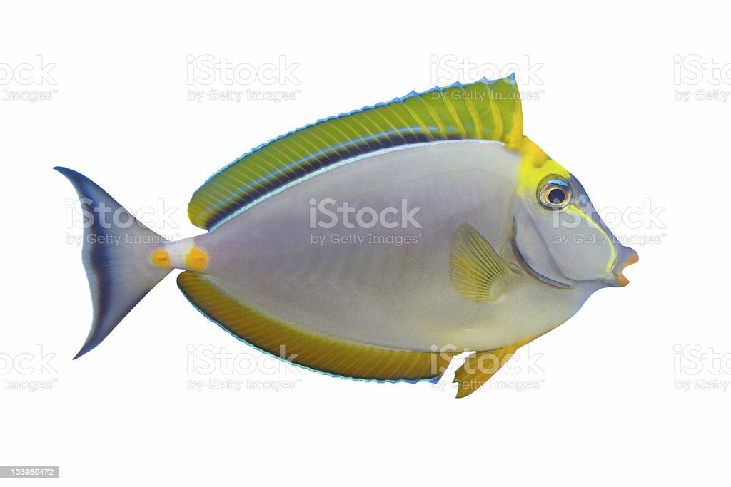 Tropical Fish Naso Tang (on white) royalty-free stock photo
