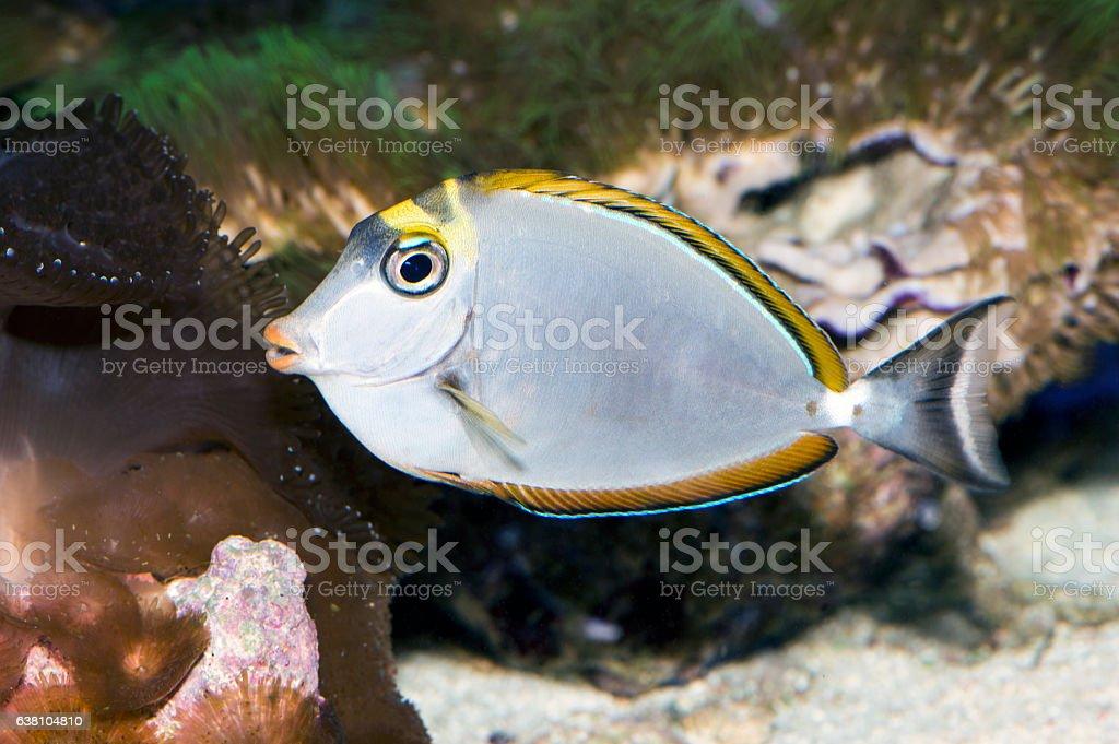 Tropical Fish Naso Tang (Naso lituratus) stock photo