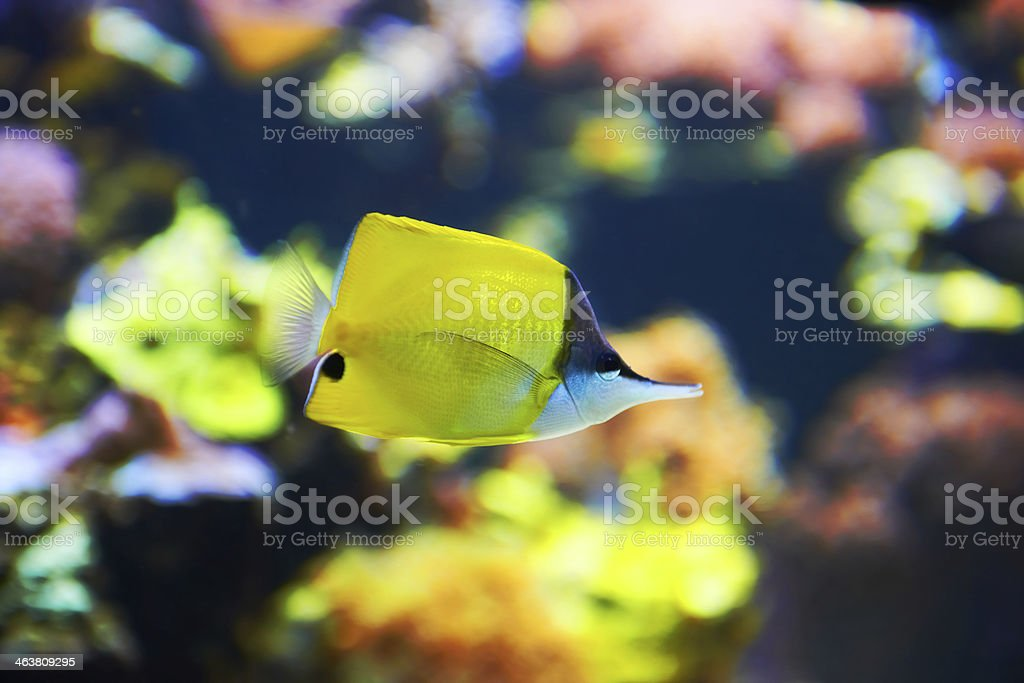 Tropical fish near coral reef royalty-free stock photo