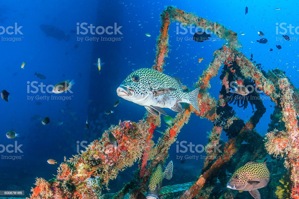 Tropical fish on an underwater wreck stock photo