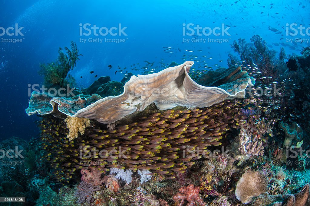 Tropical Fish on Coral Reef in Raja Ampat stock photo