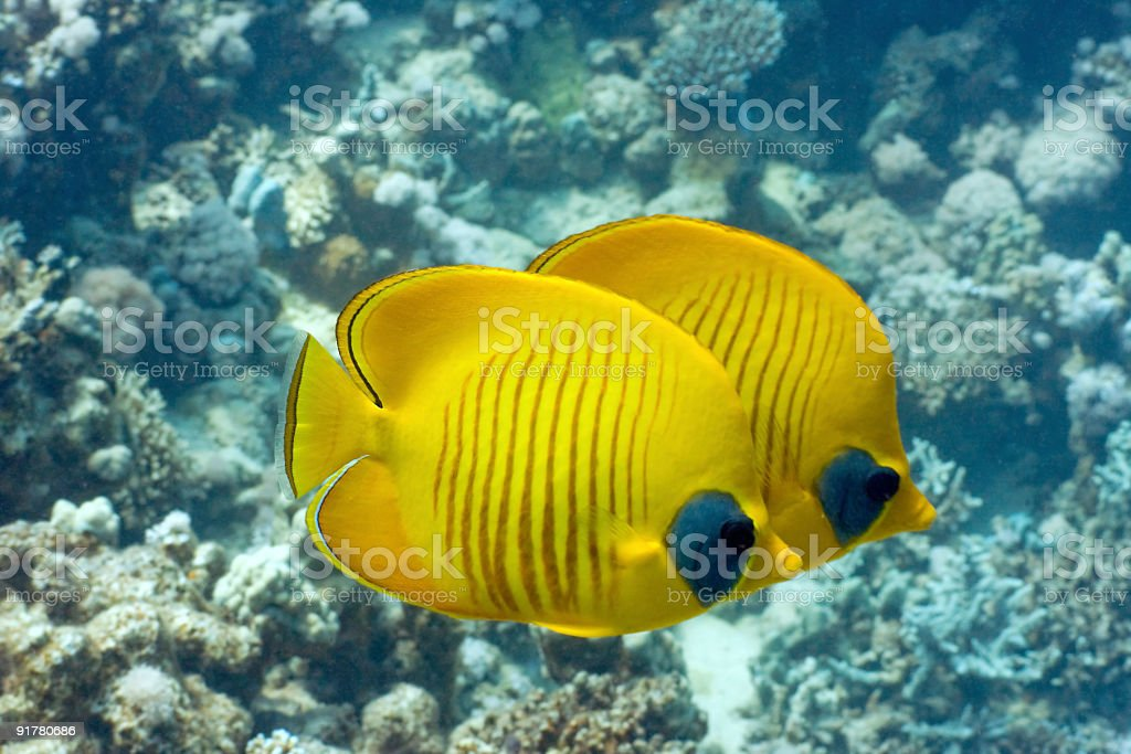 Tropical Fish Orangeface Butterflyfish stock photo