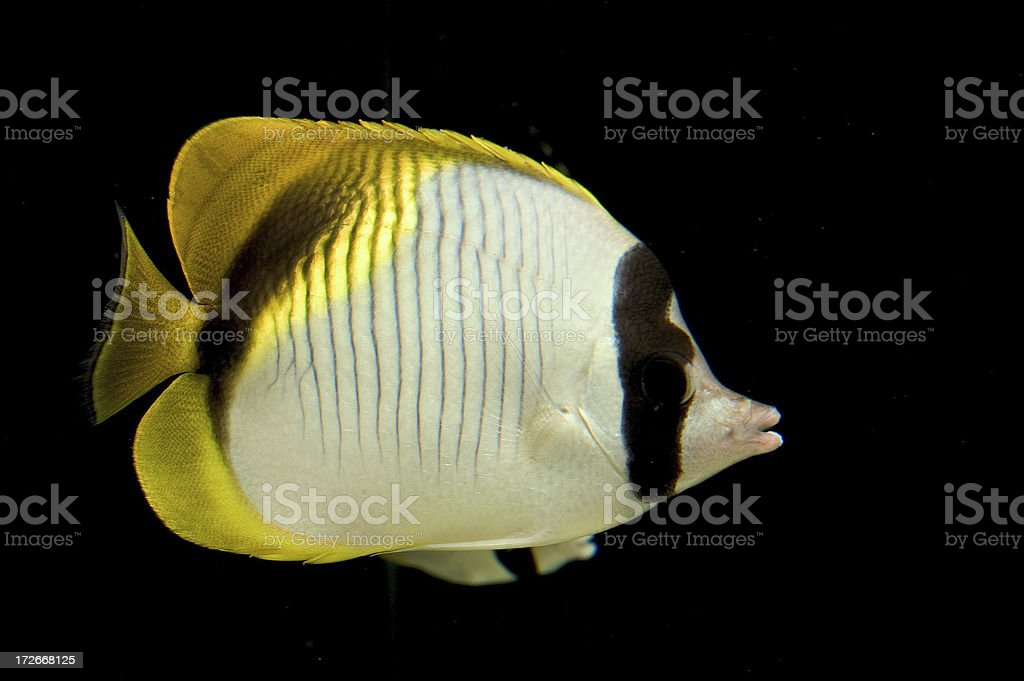 Tropical fish royalty-free stock photo