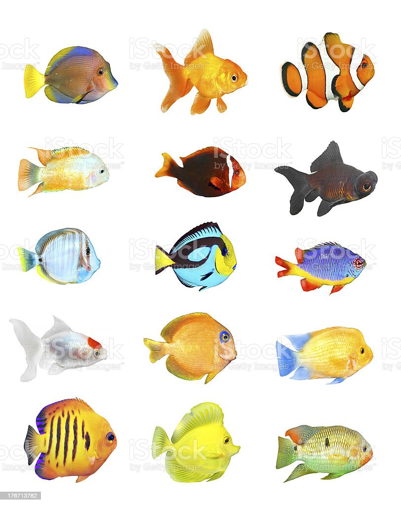 Tropical fish. royalty-free stock photo