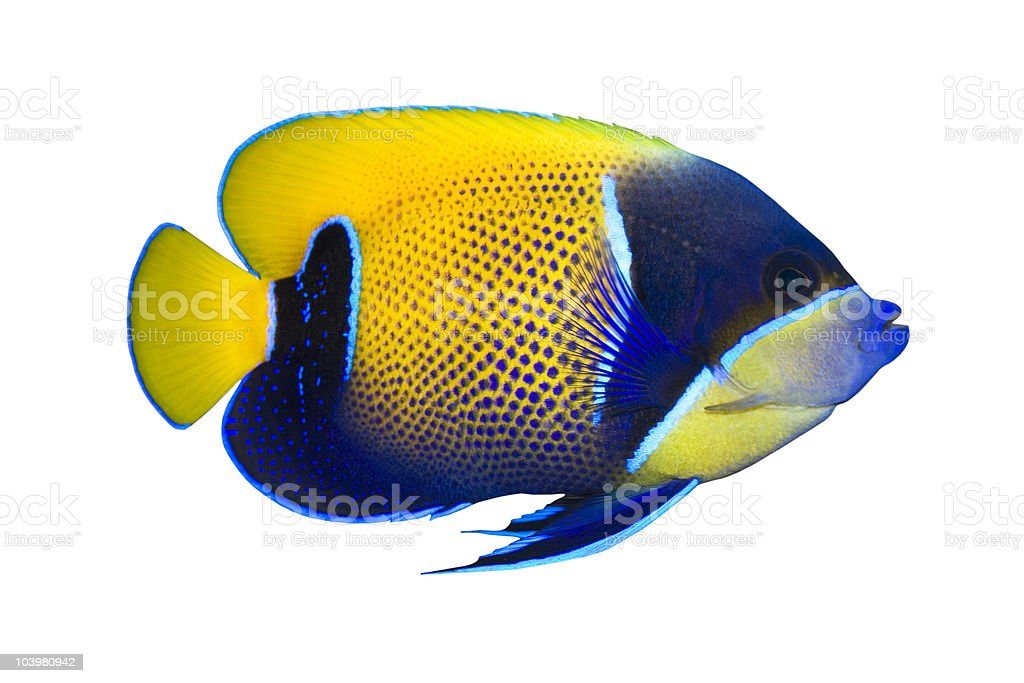 Tropical Fish Pomacanthus navarchus isolated on white stock photo