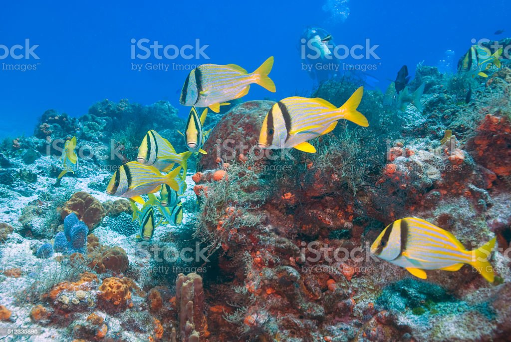 Tropical fish school at coral reef stock photo