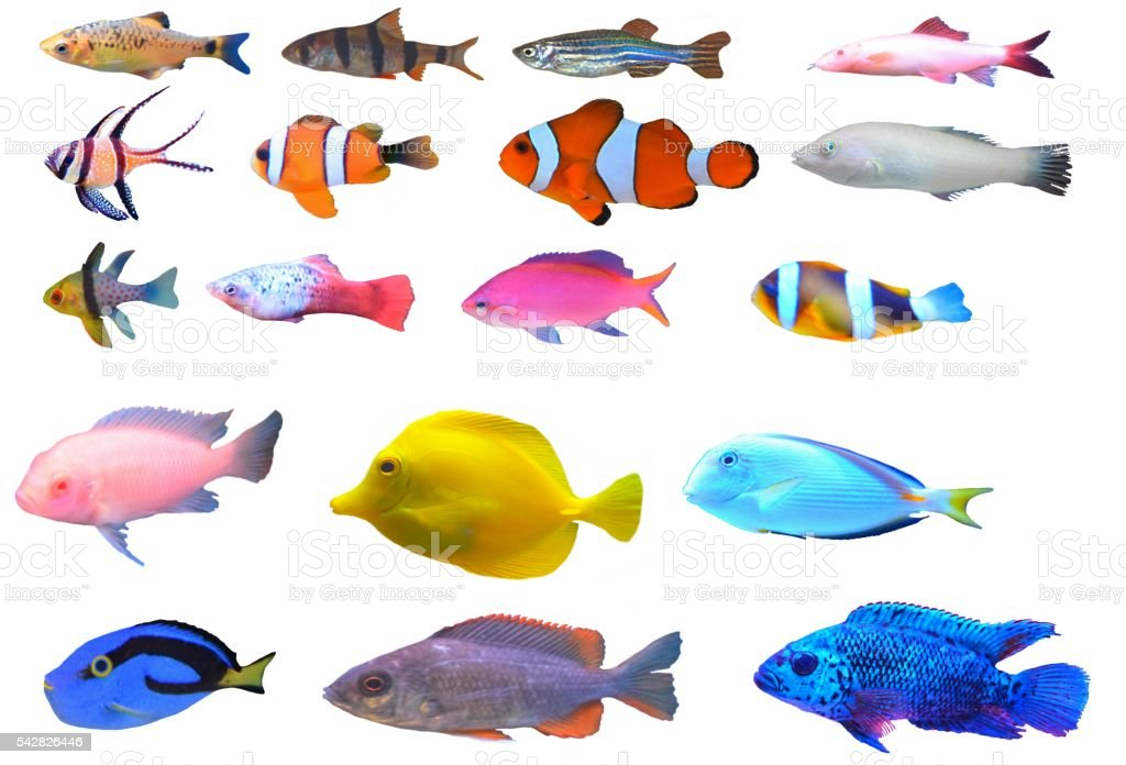 tropical fish set breeds types isolated white background stock photo