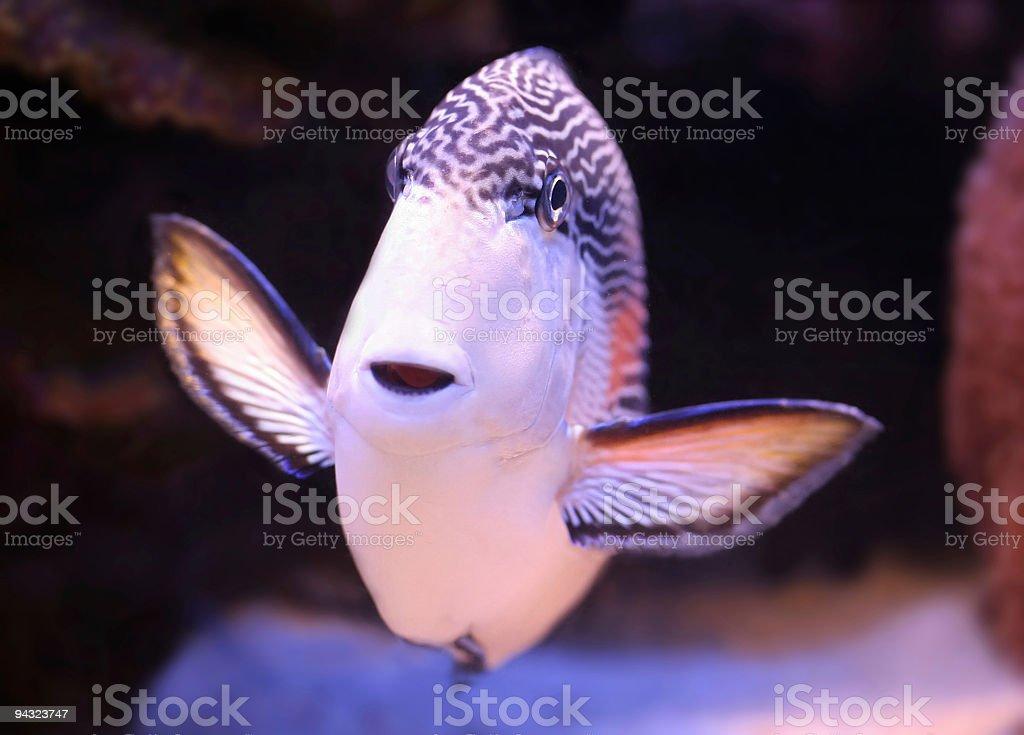 Tropical Fish (sohal) smiling stock photo