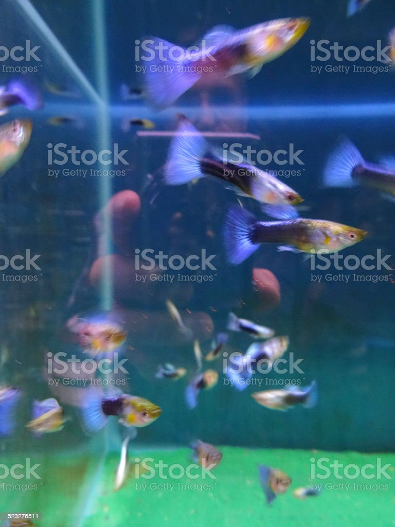 Tropical fish tank aquarium image, blue tail guppies / male guppy stock photo