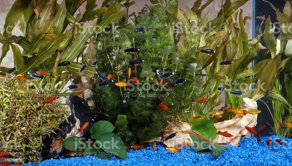 Tropical fish tank with sword tails stock photo