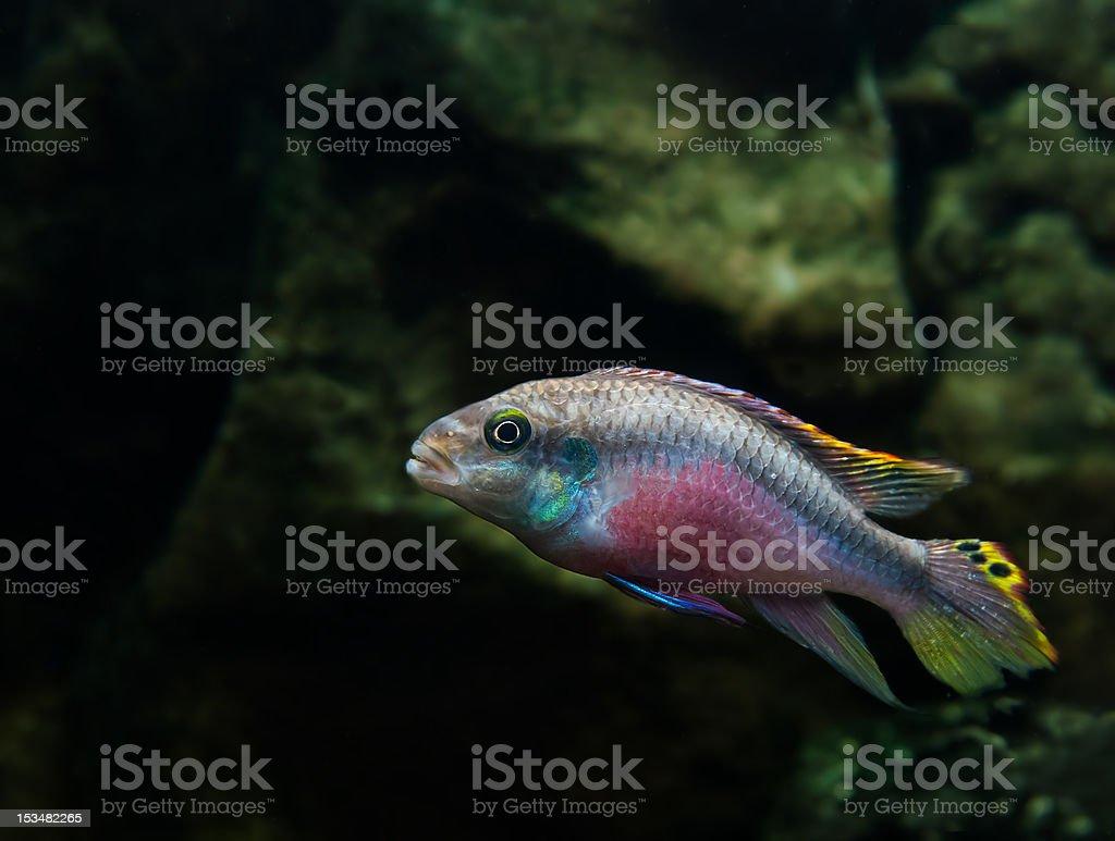 Tropikalna ryba, bardzo kolorowe zbiór zdjęć royalty-free