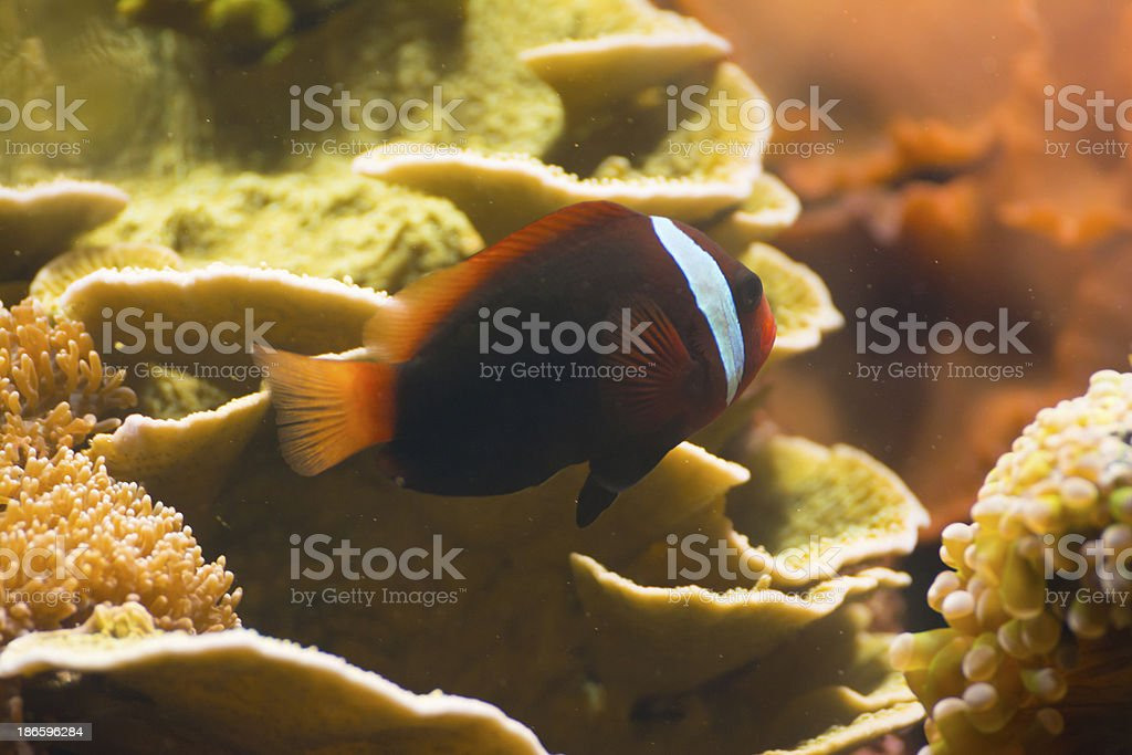 Tropical Fish - XL royalty-free stock photo