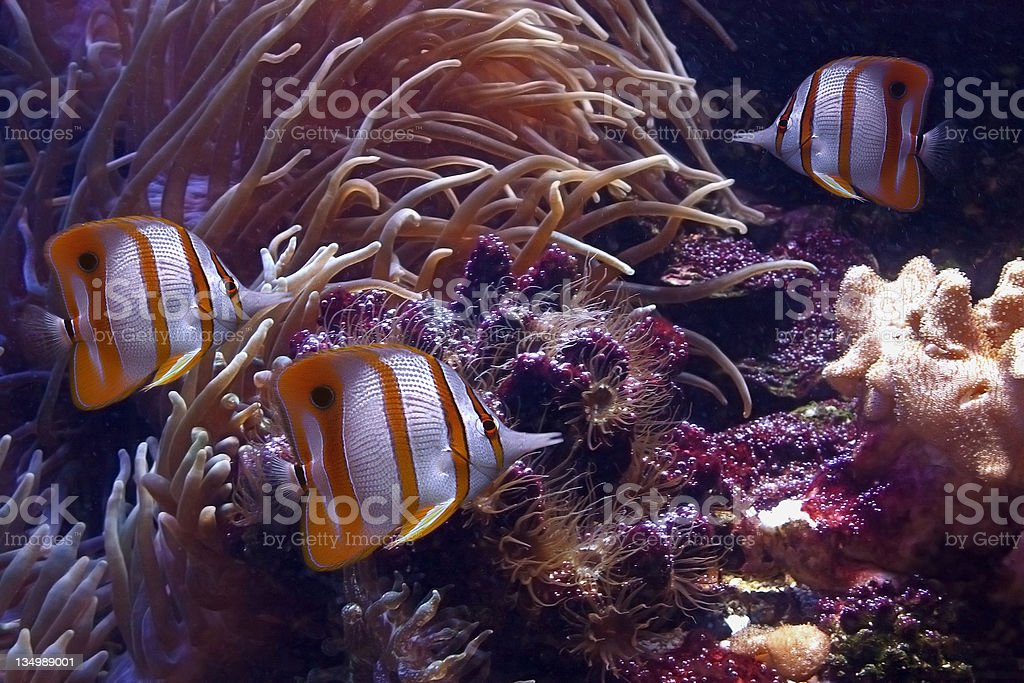 Tropical fishes - butterfly-fish royalty-free stock photo
