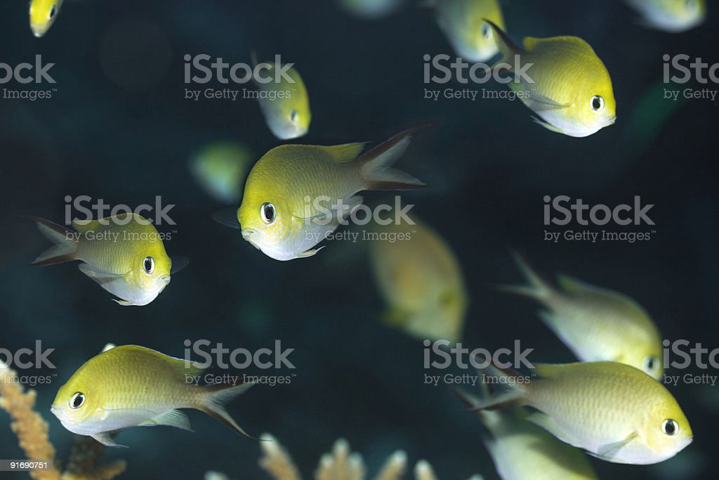 Tropical fishes Golden Chromis royalty-free stock photo