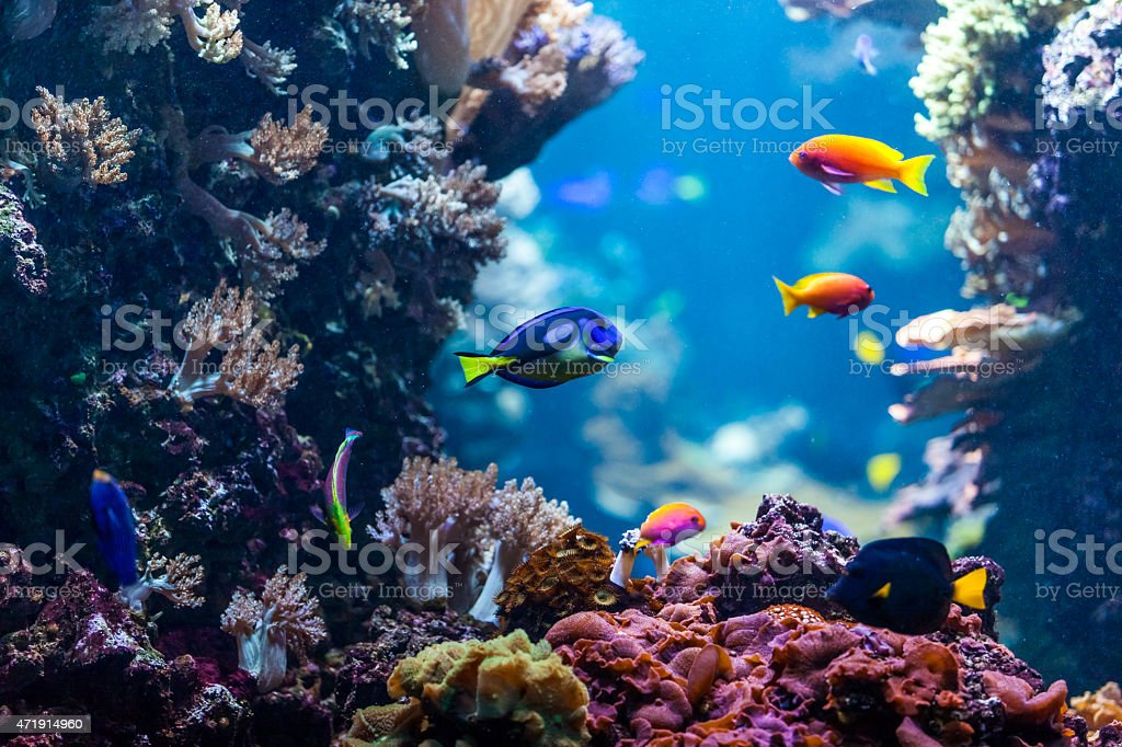 tropical fishes meet in blue coral reef sea water aquarium stock photo