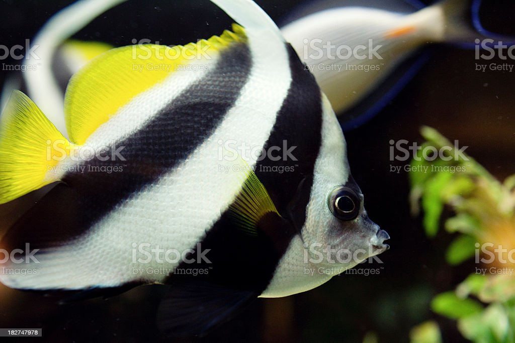 Tropical fishes royalty-free stock photo