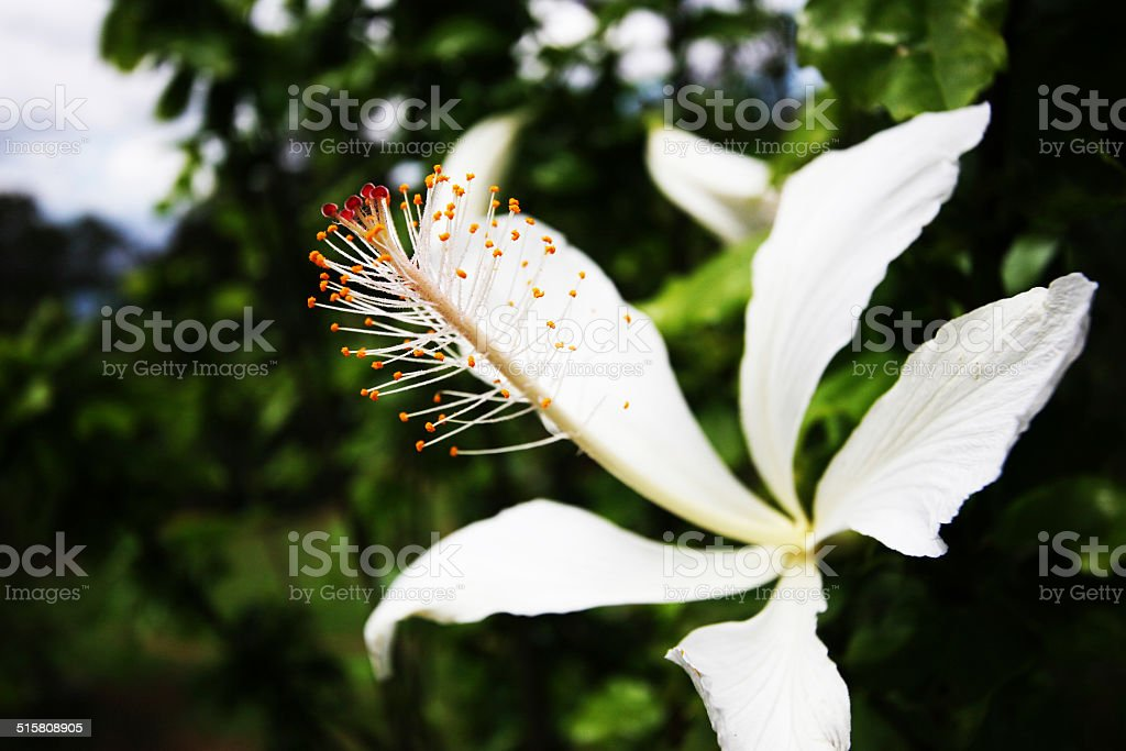 Tropical flower in Hawaii royalty-free stock photo