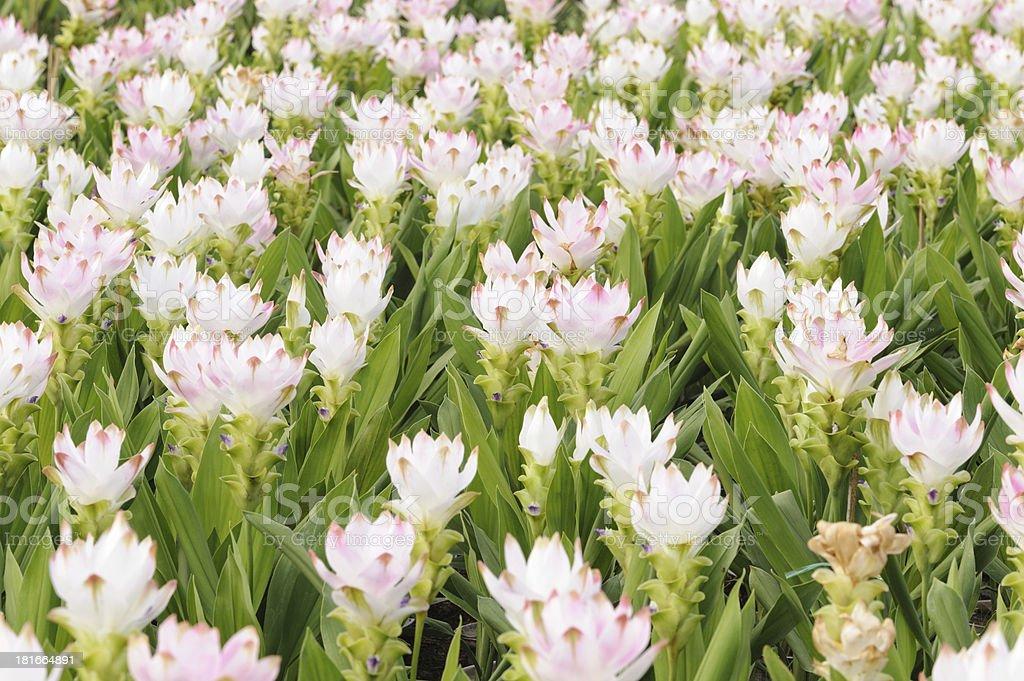 Tropical Flower krajeaw royalty-free stock photo